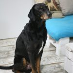 Dobermann Mix baden